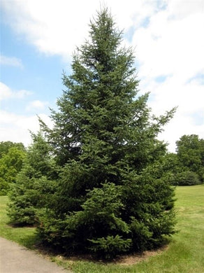 Abies Balsamea (Balsam Fir) Pine Tree 25 Seeds #Tree