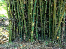 Load image into Gallery viewer, Bambusa Arundinacea (Spiny Bamboo, Thorny Giant Bamboo) (SEEDS) #Ornamental