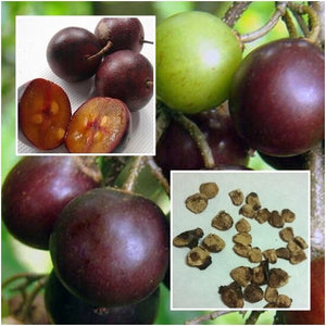 Flacourtia Indica Governor's Plum Fruit Tree 15 Seeds #Fruit