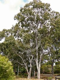 Eucalyptus tereticornis Forest Red Gum Tree 100 Seeds #Tree