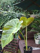 Load image into Gallery viewer, Remusatia Vivipara Hitchhiker Elephant Ear Plant 25 Seeds #Ornamental