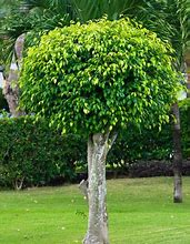 Load image into Gallery viewer, Ficus benjamina Weeping Fig Tree 50 Seeds #House Plant