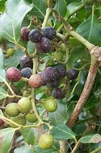 Rhoicissus rhomboidea 10 Seeds Glossy Forest Grape Rope Wood Grape Vine #Fruit