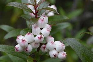 Gaultheria hispida Snow Berry Shrub 100 Seeds  #House Plant