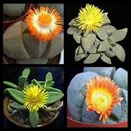 Pleiospilos Species Dwarf Succulent Mix 50 Seeds #Succulent
