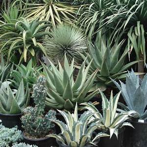 25 Seeds Agave Seed Mix Indoor Air Purification Plant #Agave
