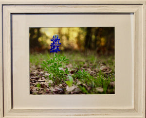 Lonely Bluebonnet- Framed Photography