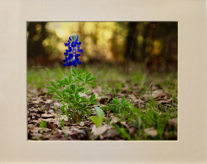 Lonely Bluebonnet- Unframed Photography