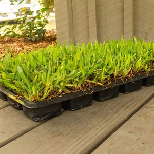 Palmetto St Augustine Grass Plugs, 36 Count