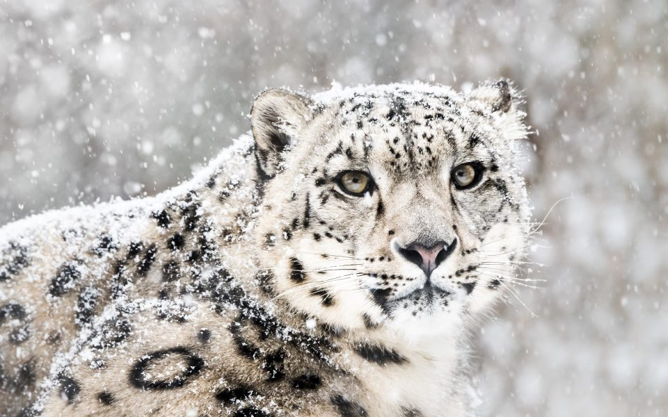 Oregon State University Harnesses Supercomputing from Advanced HPC to Help Save Snow Leopards from Extinction