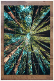 Giant Redwood Trees -  Tile Mural