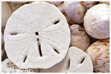 Sand Dollars & Shells - Ceramic Tile Mural