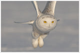 White Owl in Flight -  Tile Mural
