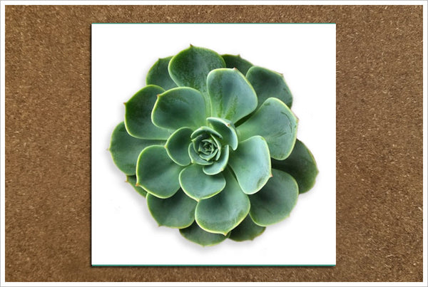 Succulent Flower 01 - Ceramic Tile Accent