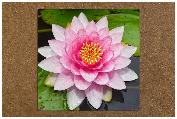 Pink Water Lily - Ceramic Tile Accent