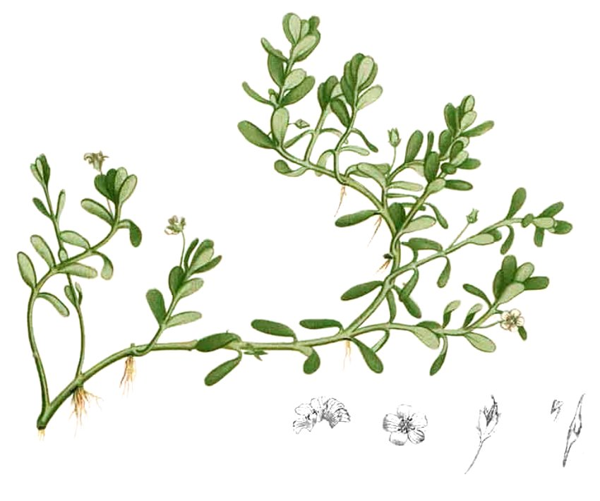 Many herbs, like Bacopa monnieri, are considered legal nootropics with long histories of effectiveness.