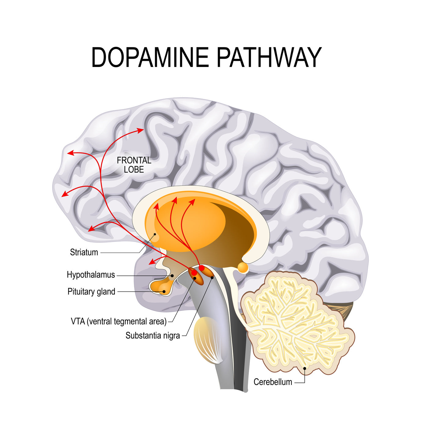 Nootropics for dopamine can help promote its production in the brain.