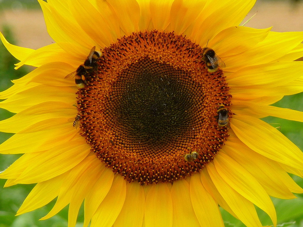 PS, which is sometimes sourced from sunflower, is one of the most promising nootropics for neurogenesis.
