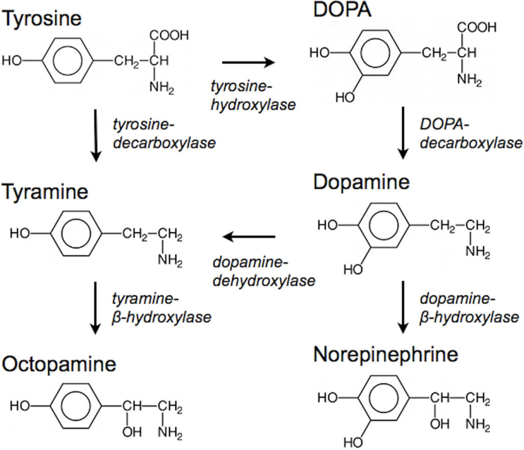 Tyrosine is one of the best nootropics for motivation due to its dopamine-optimizing activity.