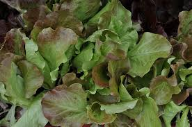 Red Leaf Lettuce Org.