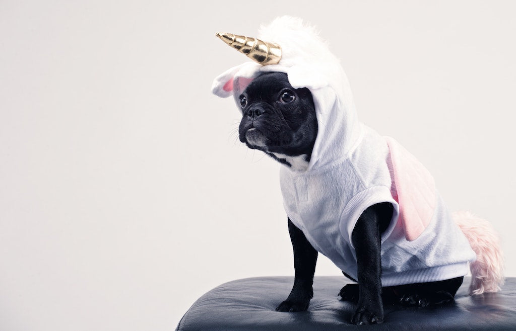 boston terrier unicorn zoom background