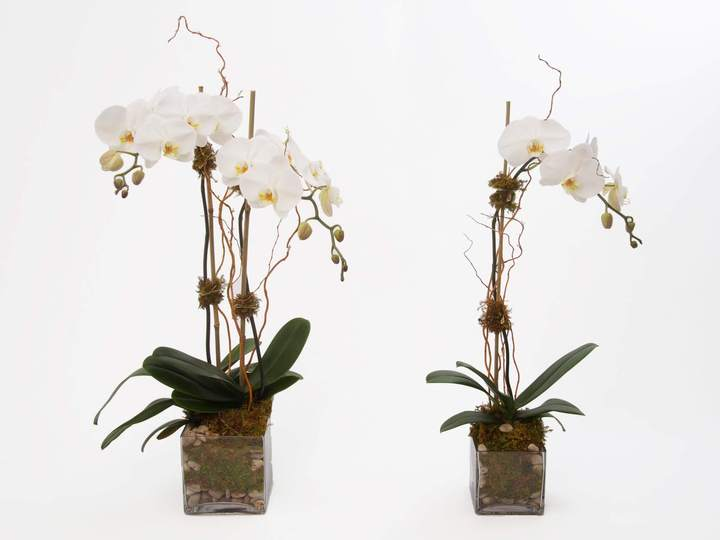 classic orchids