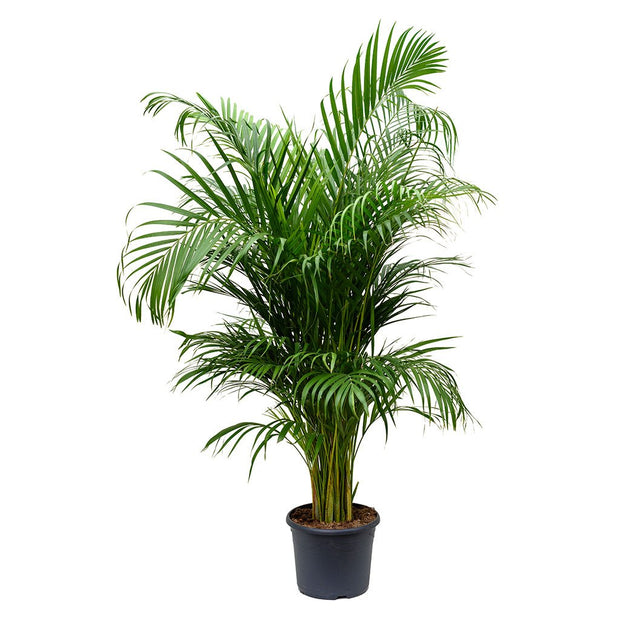 Areca Palm Floor Plant