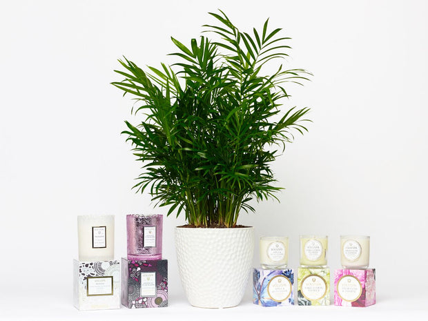Neanthe Bella Palm Plant