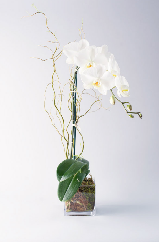 Double Stem Orchids / Monthly