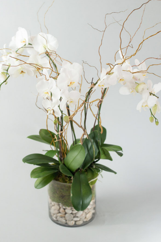 Triple Stem Orchids / Monthly