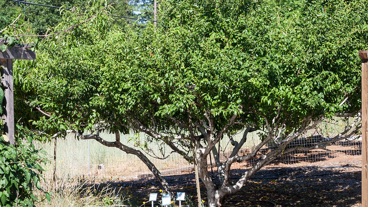 High Density Planting and Pruning Fruit Trees for the Home Orchard