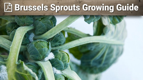 Brussels Sprout Growing Guide