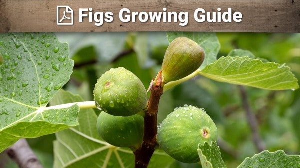 Figs Growing Guide
