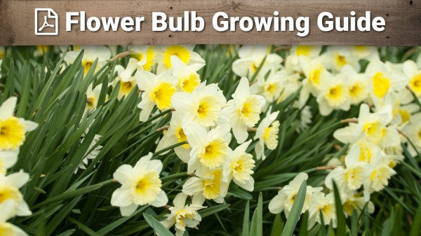 Flower Bulb Growing Guide