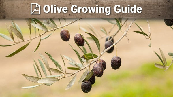 Olives Growing Guide