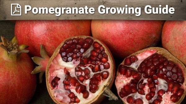 Pomegranate Growing Guide
