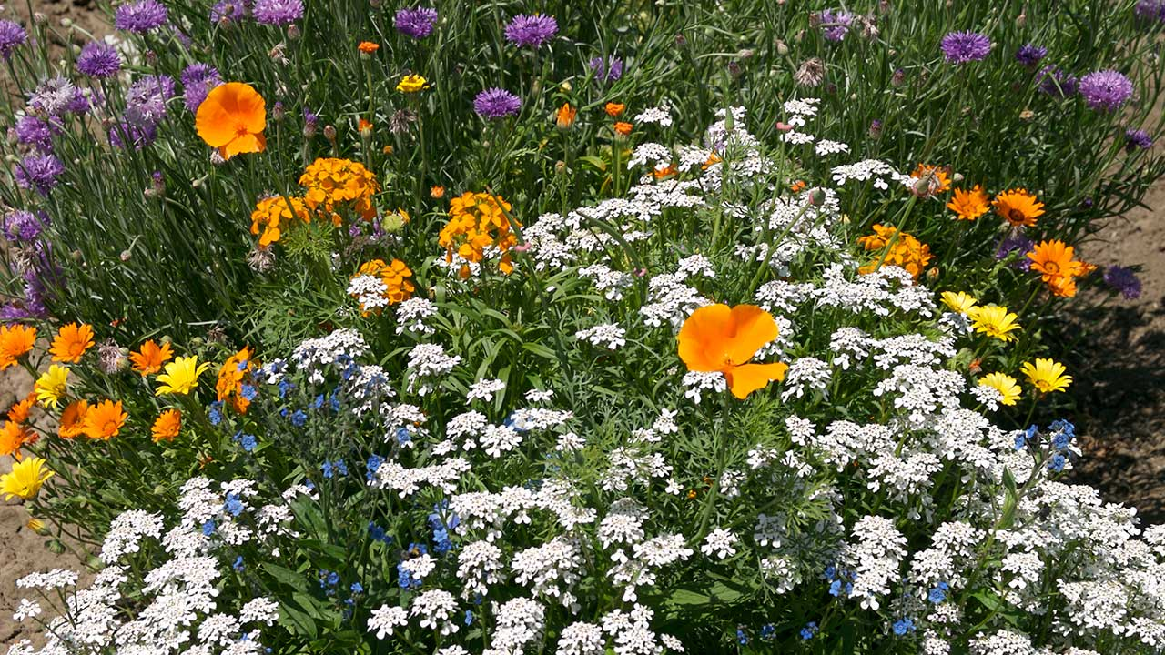 Plant Flowers this Fall for Glorious Wildflower Meadows & Beds Next Year!