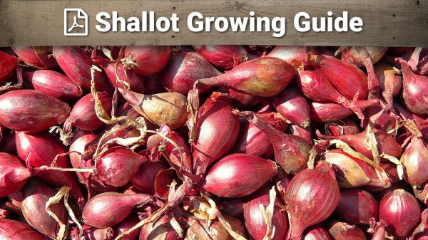 Shallots Growing Guide
