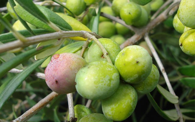 How to Choose Olive Trees