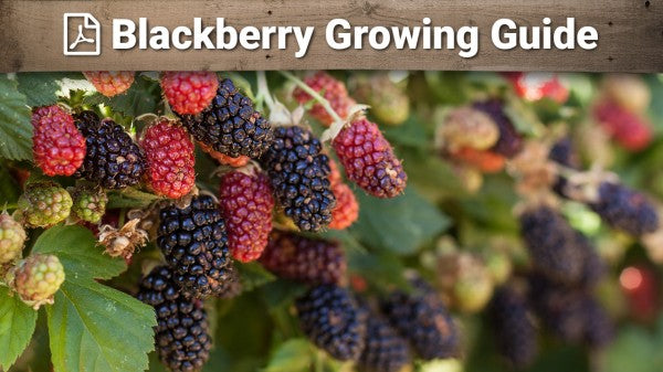 Blackberry Growing Guide