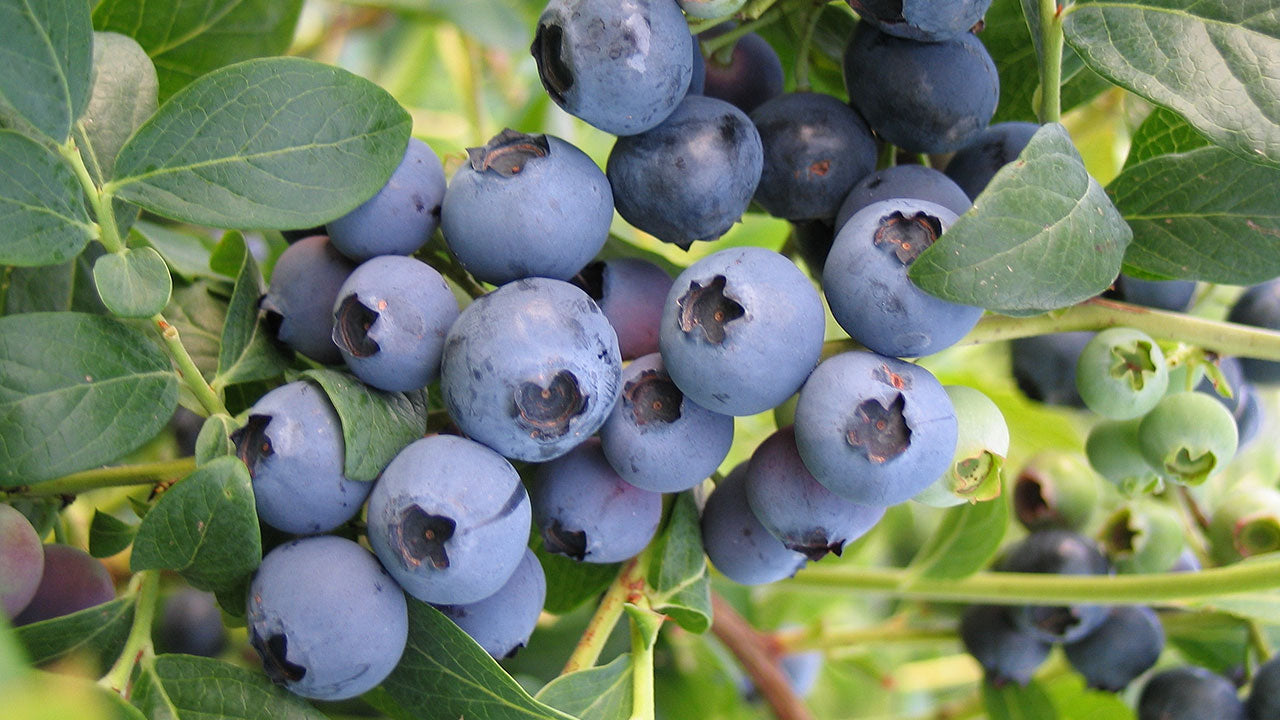 Blueberry Bushes for Warm Climates