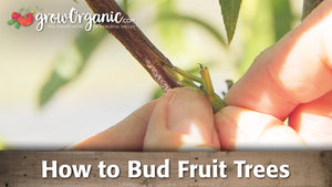 Budding Fruit Trees