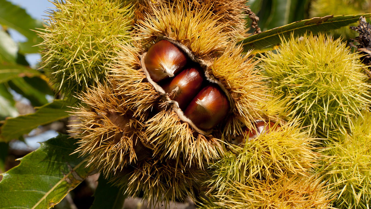 Growing and Cooking Chestnuts