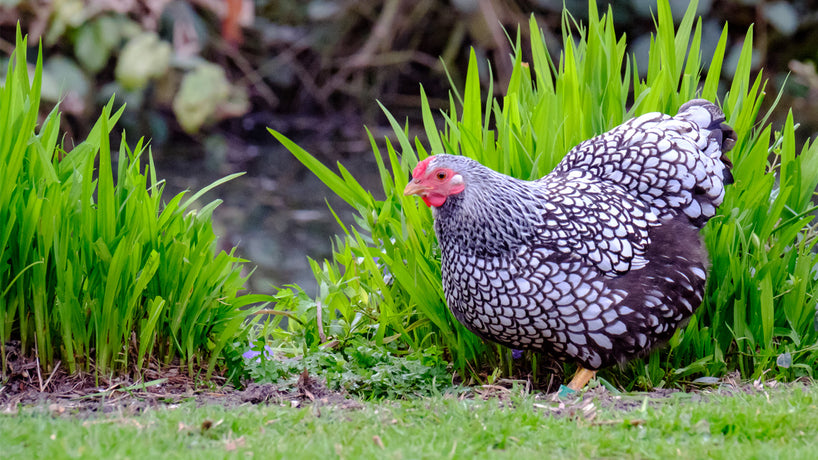10 Tips for a Chicken Friendly Garden