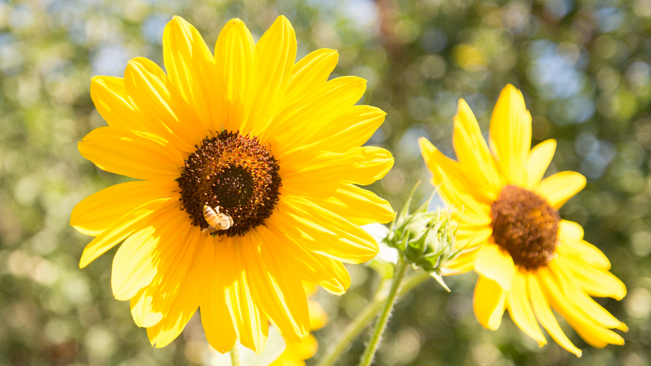 Tips On Cutting Sunflowers For Bouquets Organic Gardening Blog Grow Organic