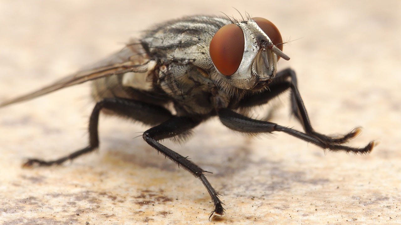 Fly Parasites - A Good Thing in a Small Package