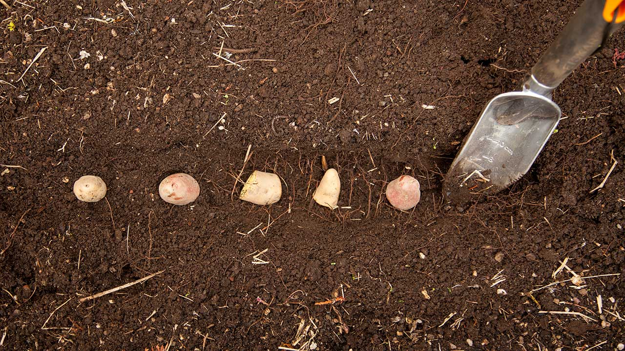 Tips for Growing Potatoes in Your Garden
