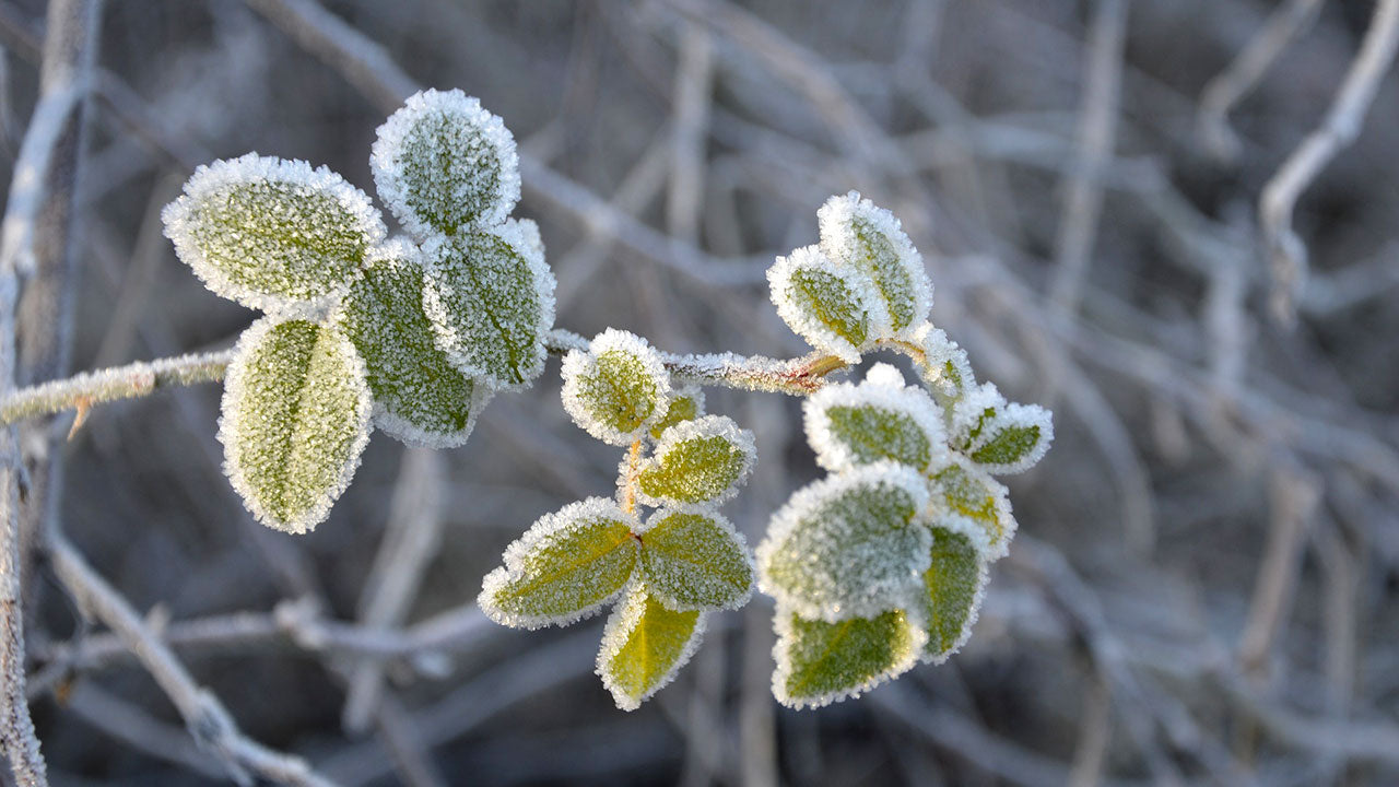 Protecting Your Fruit Trees from Frost Damage