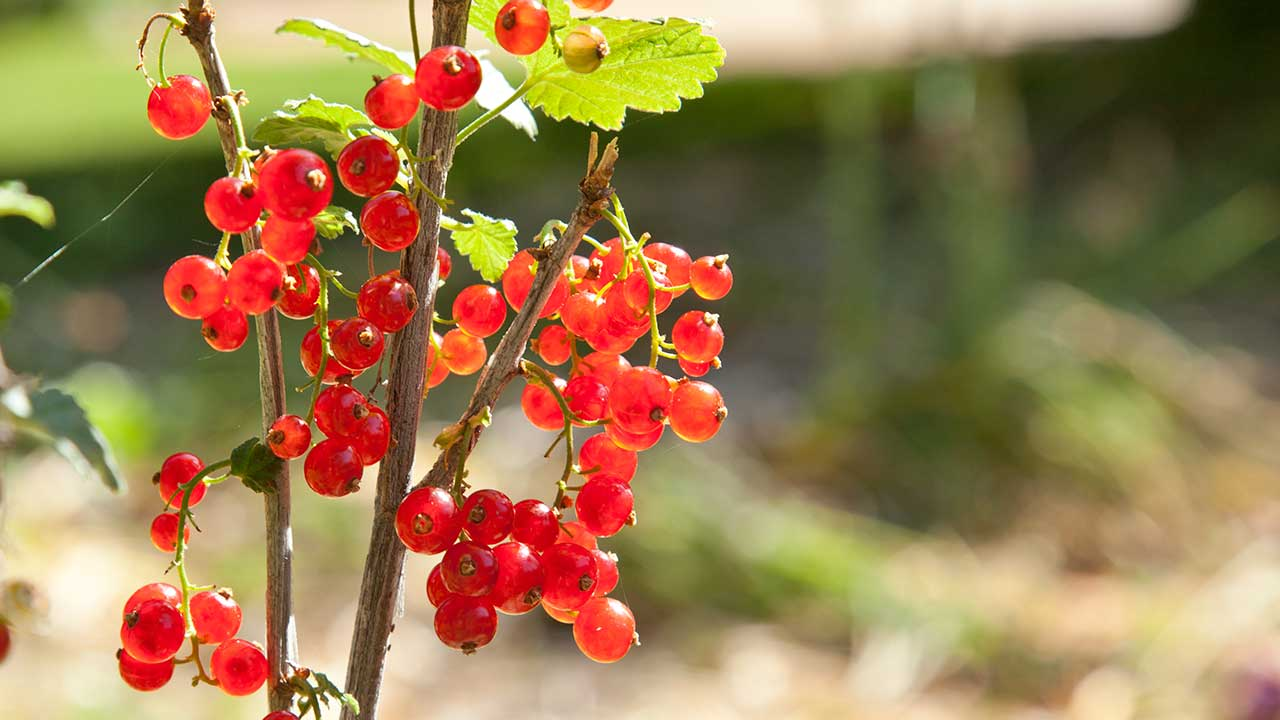 Currants are the Edible Almost Everyone Can Grow!