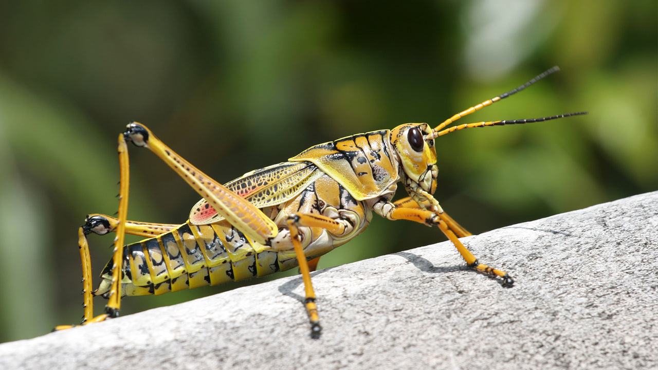 Grasshoppers – Food or Foe?